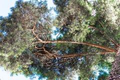 Altos troncos del pino, corona enorme y cielo azul suave Fotos de archivo