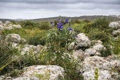 Altramuces florecientes entre las piedras grandes cubiertas con el liquen foto de archivo