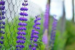 Altramuces púrpuras en hierba verde a lo largo de la cerca imagenes de archivo