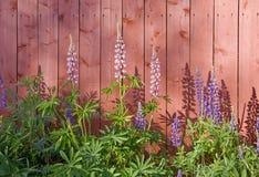 Altramuces rosados y violetas contra la pared de madera roja imagen de archivo libre de regalías