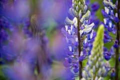 Altramuz del púrpura y blanco en un campo fotos de archivo