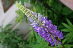Altramuz púrpura Imagenes de archivo