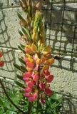 Altramuz rosado con el abejorro Foto de archivo