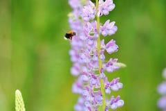 Altramuz y abeja de la flor, recogiendo el néctar Imágenes de archivo libres de regalías