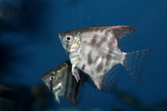 Altum Angelfish - aquarium fish Stock Photos