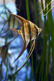 Altum Angelfish (Pterophyllum altum) Royalty Free Stock Images