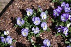 Altviool en geel tricolorviooltje, de bloei van het bloembed in de tuin Stock Fotografie