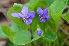 Altvioolbloemen in een bos stock afbeeldingen