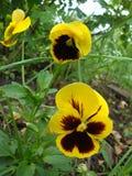 Altvioolbloemen of pansies stock foto's