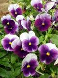 Altvioolcornuta, gehoornd viooltje, doorgenaaid viooltje Stock Afbeelding