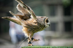 Aluco de Strix de hibou fauve Image libre de droits