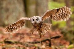 Aluco de Tawny Owl Strix Fotos de Stock