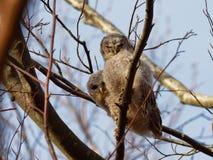 Aluco de Tawny Owl Strix Imagen de archivo libre de regalías
