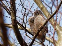 Aluco de Tawny Owl Strix Imagem de Stock Royalty Free