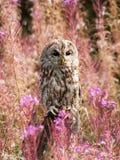 Aluco do Strix - situação da coruja ocre no prado entre flores Foto de Stock