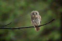 Aluco Strix Εμφανίζεται στη Δημοκρατία της Τσεχίας ελεύθερη φύση στοκ εικόνα