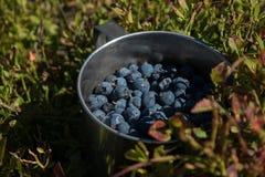 Aluminium kopp med blåbär i blåbärbusken i Caen arkivfoto