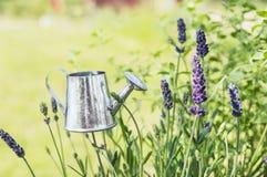 Aluminum watering can in Lavandula plant Stock Photo