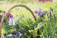 Aluminum watering can in Lavender garden Royalty Free Stock Photos