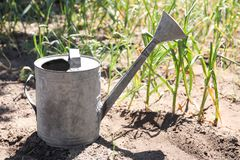 Aluminum watering can near garlic sprouts. In field stock photo