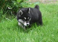 Alusky szczeniaka pies Dostrzega zabawkę Bawić się Z Obrazy Royalty Free