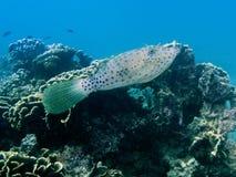 aluterus鳞鲆科鱼被潦草地写的脚本 库存照片