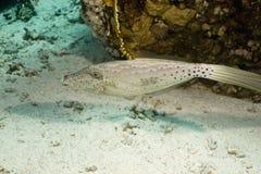 aluterus filefish nagryzmolony scriptus Obraz Royalty Free