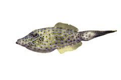 Aluterus Scriptus also known as Scrawled Filefish Stock Photos
