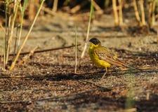 Alvéola amarela (homem) Fotografia de Stock Royalty Free
