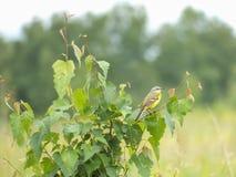 Alvéola amarela (lat Flava do Motacilla) Foto de Stock