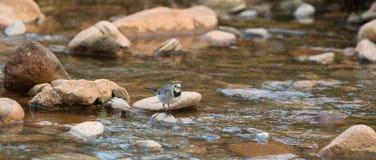 Alvéola branca no rio Fotografia de Stock