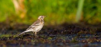 Alvéola citrina - citreola do Motacilla - pássaro juvenil Fotografia de Stock
