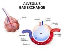 alvéole Échange de gaz illustration stock