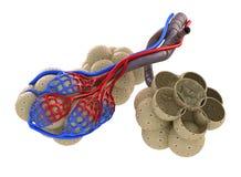 Alvéoles dans des poumons - sang saturant par l'oxygène Photos stock