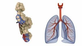 Alvéolos en los pulmones - sangre que satura por el oxígeno