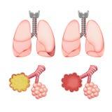 Alvéolos nos pulmões ajustados Foto de Stock Royalty Free