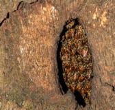Alveare in una cavità dell'albero Immagini Stock Libere da Diritti