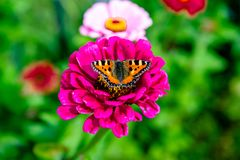 Alveari della farfalla che si siedono su un fiore Fotografia Stock Libera da Diritti