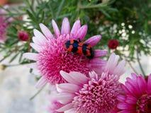 Alvearius de Trichodes do besouro em flores do crisântemo fotografia de stock royalty free