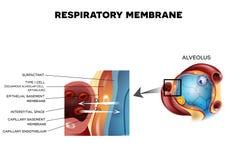 Alveole en Ademhalingsmembraan stock illustratie