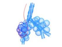 Alveolen Stock Foto's