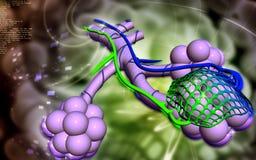 alveolen Stock Fotografie