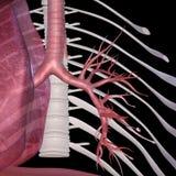 alveolen Stockbild