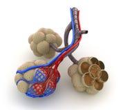Alveolen in longen - bloed dat door zuurstof verzadigt Stock Foto