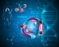 Alveolenanatomie, ademhaling stock illustratie