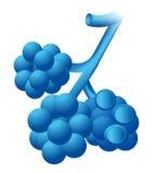 alveoler Fotografering för Bildbyråer