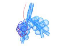 Alveoli Stock Photos