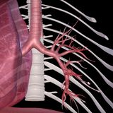 alveoli Imagem de Stock