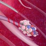 alveoli Fotografie Stock
