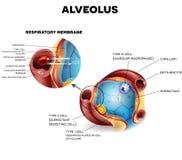 Alveoli anatomia, respirazione illustrazione di stock